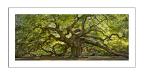 """Angel Oak"" color photograph by Will Connor"