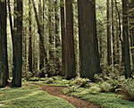 Redwoods by Will Connor (Color Photograph)