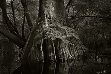 Savannah Swamp III by Greg Stroube (Black & White Photograph)