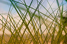 Beach Grass by Katherine Morgan (Color Photograph)