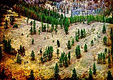 Forest Rebirth, Yellowstone by Jed Share (Color Photograph)