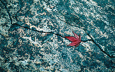 Japanese Maple, Kyoto by Jed Share (Color Photograph)