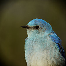 Song of a Mountain Bluebird X by Yuko Ishii (Mixed-Media Color Photograph)