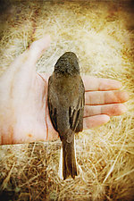 In My Hand - Dark-Eyed Junco by Yuko Ishii (Color Photograph)