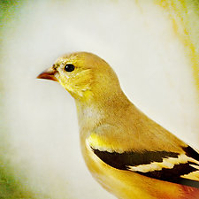 Song of an American Goldfinch II by Yuko Ishii (Color Photograph)