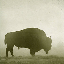 Healing Bison in Yellowstone by Yuko Ishii (Mixed-Media Color Photograph)