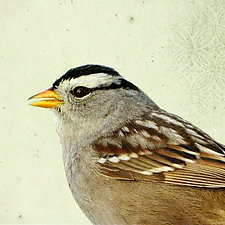 Song of a White-Crowned Sparrow by Yuko Ishii (Color Photograph)