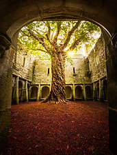 Muckross Abbey Tree of Life by Matt Anderson (Color Photograph)