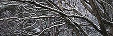 Branches by Will Connor (Color Photograph)