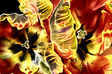 Solarized Tulips by Lori Pond (Color Photograph)