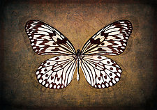 Rice Paper Butterfly by Michael Protiva (Giclee Print)
