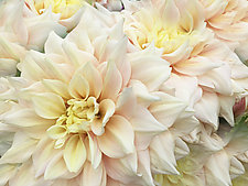 Dahlias by Julie Betts Testwuide (Color Photograph)