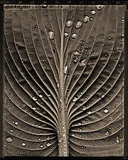 Hosta with Rain by Allan Baillie (Black & White Photograph)
