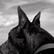 Dog Ears by Jenny Lynn (Black & White Photograph)