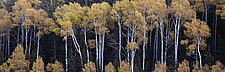 Fall Aspens by Terry Thompson (Color Photograph)