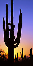 Saguaro Sunset I by Terry Thompson (Color Photograph)