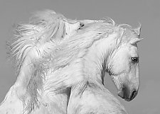 White Stallions Play by Carol Walker (Black & White Photograph)