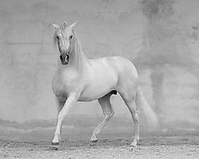 Classical Spanish Stallion by Carol Walker (Black & White Photograph)