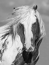 Thor's Portrait by Carol Walker (Black & White Photograph)