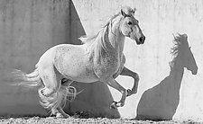 Lusitano Stallion at the Corner by Carol Walker (Black & White Photograph)