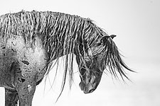Wild and Free Mane by Carol Walker (Black & White Photograph)