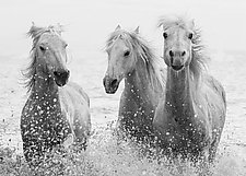 Three White Horses Splash II by Carol Walker (Black & White Photograph)