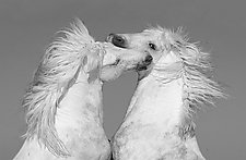 Two White Manes by Carol Walker (Black & White Photography)