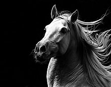 Andalusian Stallion's Pride by Carol Walker (Black & White Photograph)