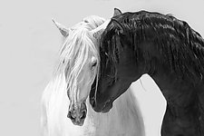 Black and White Stallions Together by Carol Walker (Black & White Photograph)