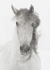 Snowy Mare II by Carol Walker (Color Photograph)