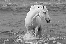 Sea Horse Turns by Carol Walker (Black & White Photograph)