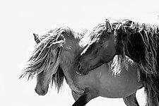 Two Sable Island Stallions VII by Carol Walker (Black & White Photograph)