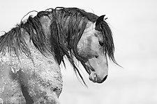 Wild Bay Stallion Looks by Carol Walker (Black & White Photograph)