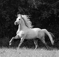 White Stallion Runs in the Forest by Carol Walker (Black & White Photography)