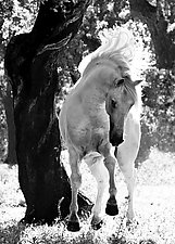 Stallion Dances by Carol Walker (Black & White Photograph)