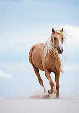 Palomino Stallion Runs in the Dunes by Carol Walker (Color Photograph)