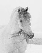 Mischievous Snowy Mare by Carol Walker (Black & White Photograph)