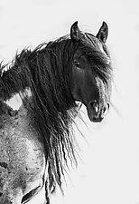 Wild Blue Roan Stallion Looks by Carol Walker (Black & White Photograph)
