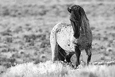 Wild Blue Roan Stallion's Challenge by Carol Walker (Black & White Photograph)