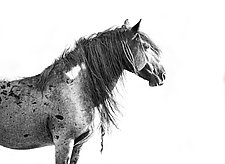 Wild Blue Roan Stallion Looks Out by Carol Walker (Black & White Photograph)