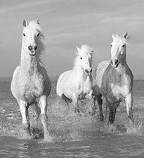 Water Run for Three White Horses by Carol Walker (Black & White Photograph)