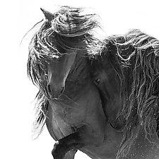 Two Sable Island Stallions VI by Carol Walker (Black & White Photograph)