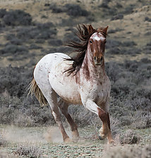 Wild Red Roan Mare by Carol Walker (Color Photograph)