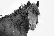 Wild Black Curly Stallion by Carol Walker (Black & White Photograph)