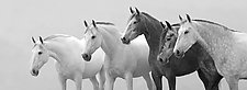 Five Spanish Mares by Carol Walker (Black & White Photograph)