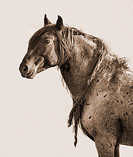 Indian Pony by Carol Walker (Black & White Photograph)
