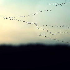 Snow Geese in Pastel Sky by Gloria Feinstein (Color Photograph on Aluminum)