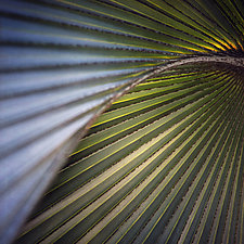 Palm Fronds 1 by Gloria Feinstein (Color Photograph on Aluminum)