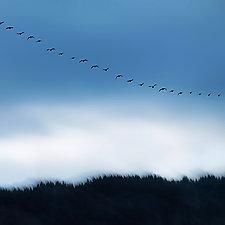 Blue Sky with Snow Geese by Gloria Feinstein (Color Photograph on Aluminum)