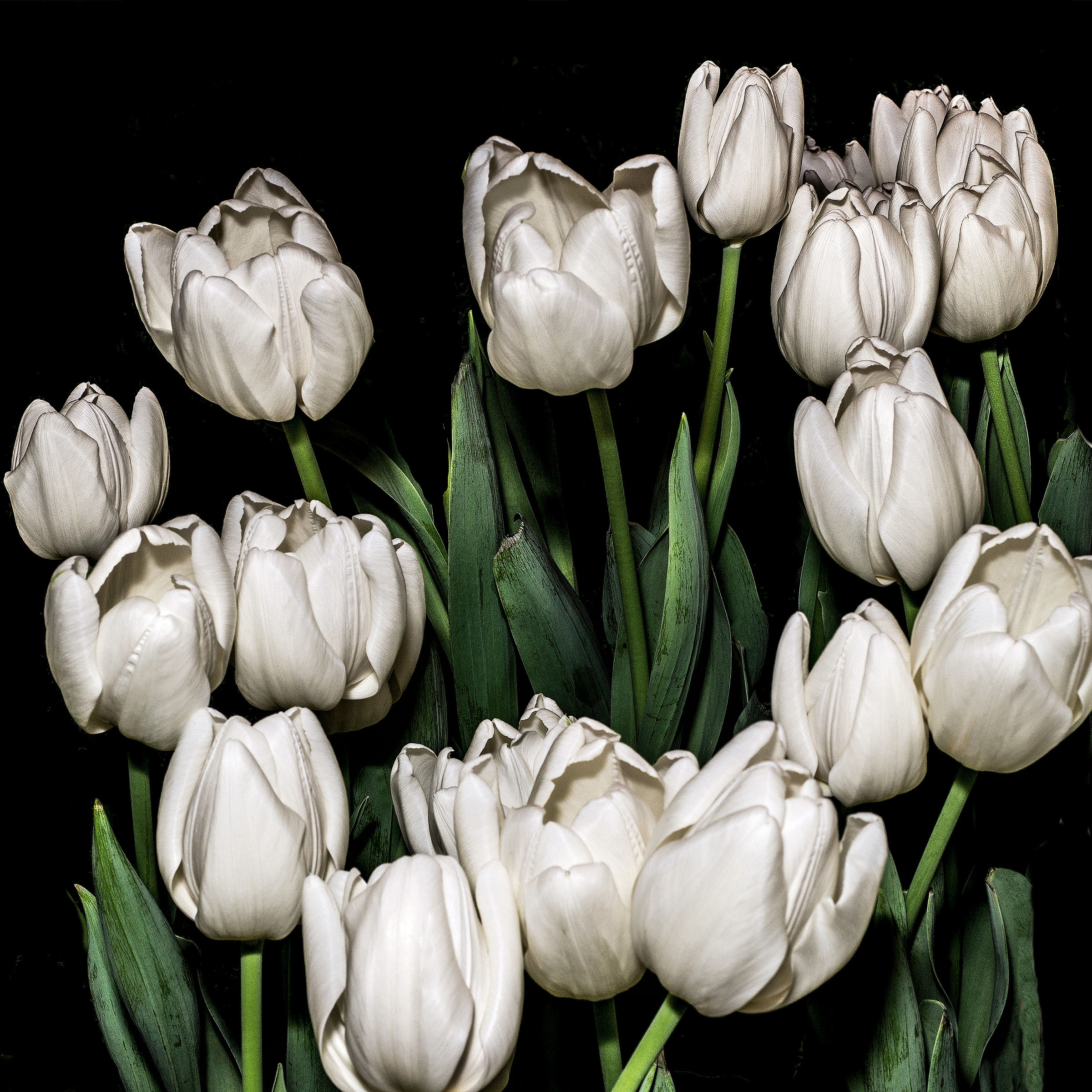 White Tulips By Barry Guthertz Color